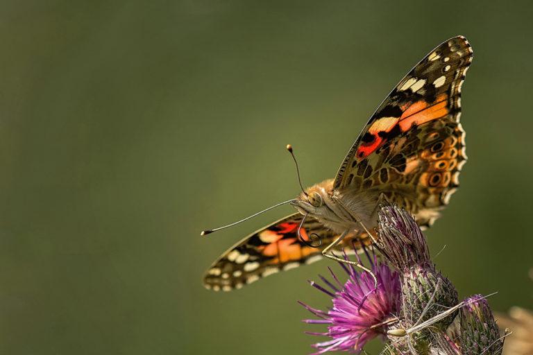 DK-Honoured-Peter-Helmut-Larsen-The butterfly