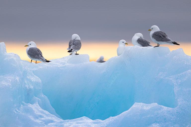 Kittiwakes on blue ice