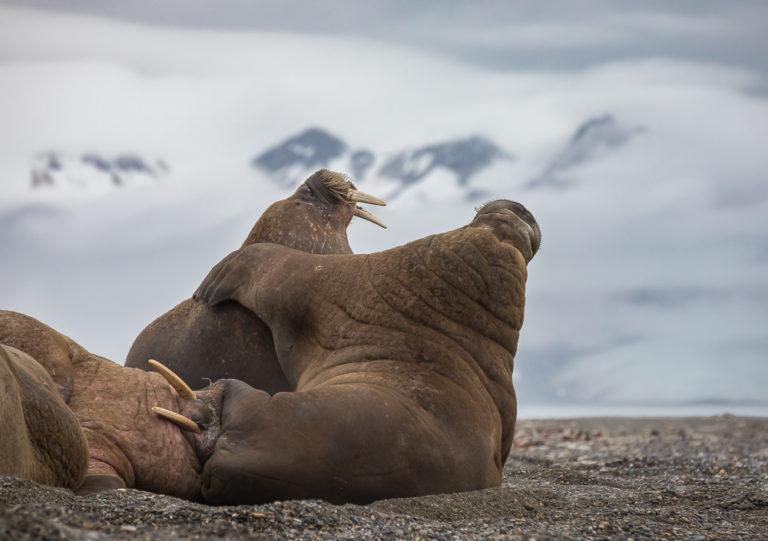 Walrus Brotherhood
