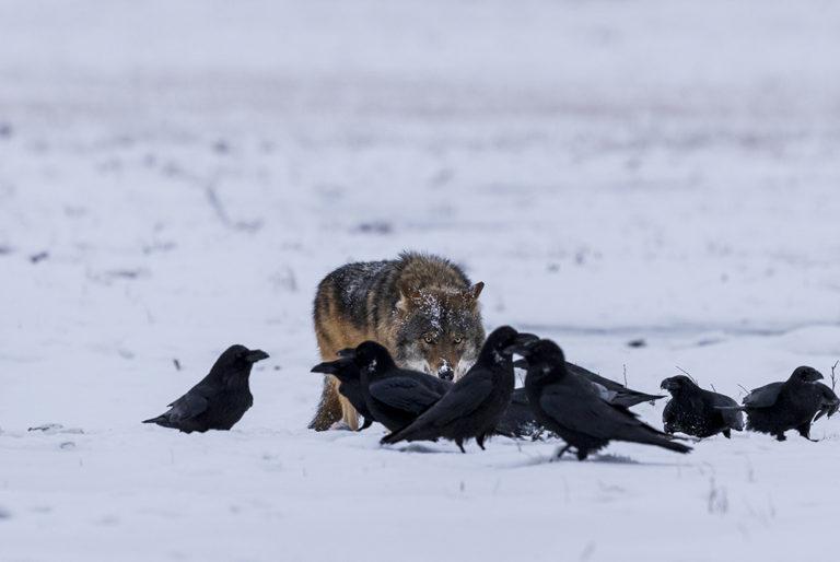 Wolf lurking