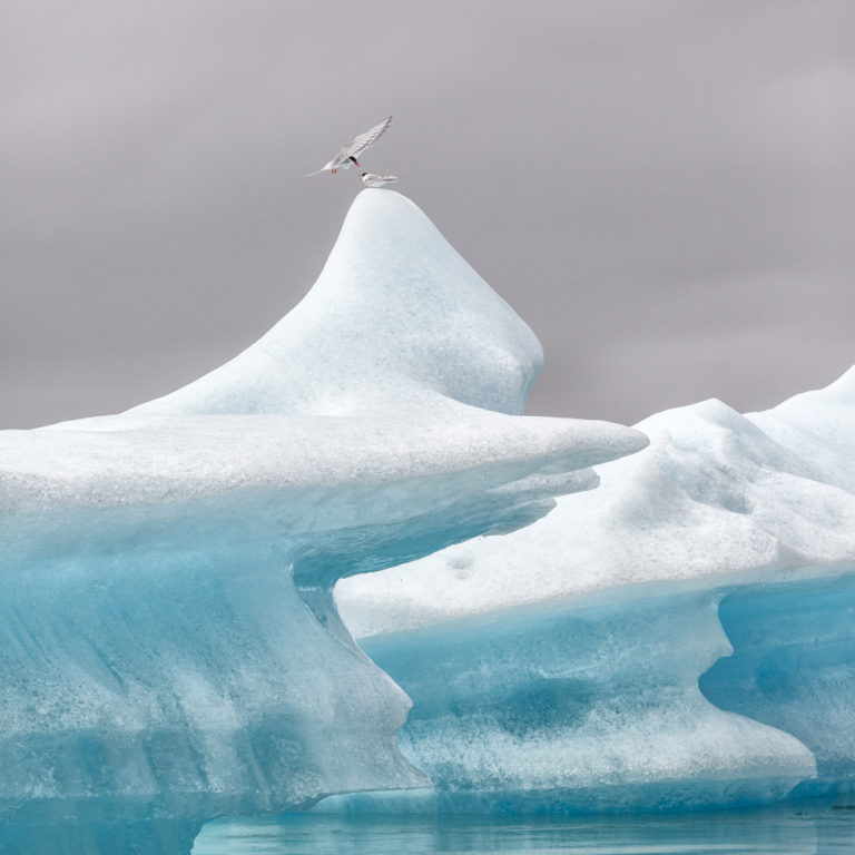 Atlantic tern