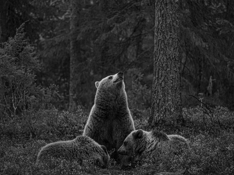 Bear with cubs 2