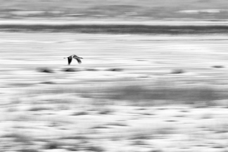 Crane flying in