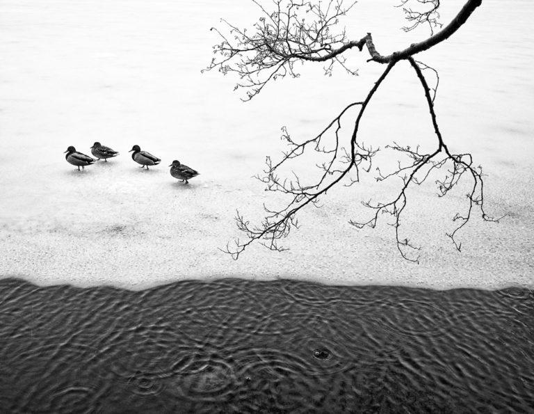 Ducks in Bergen
