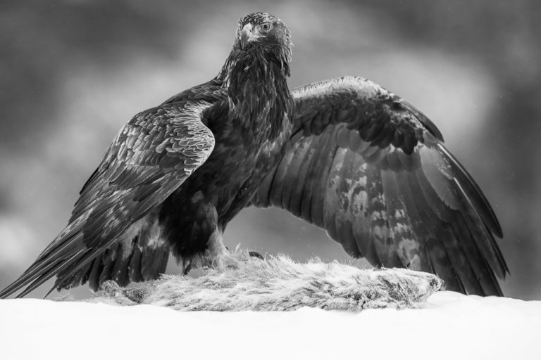 Golden Eagle and lunch