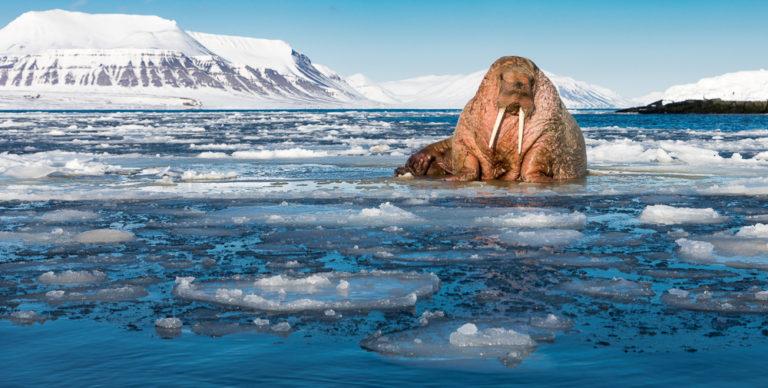 Walrus on the Ice Floe