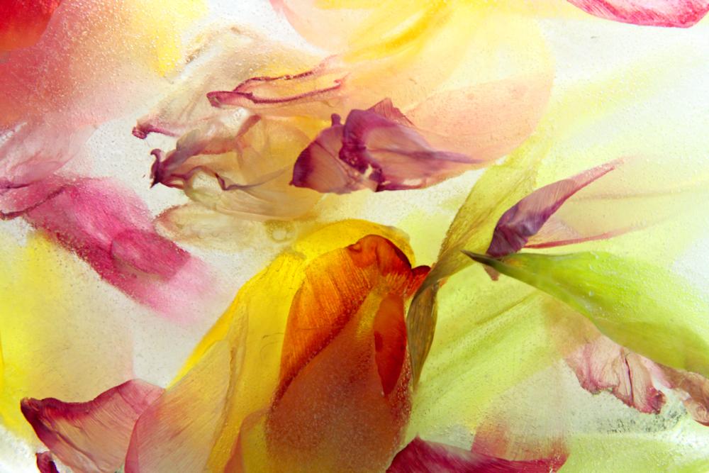 Elisa Putti: Tulips in freeze