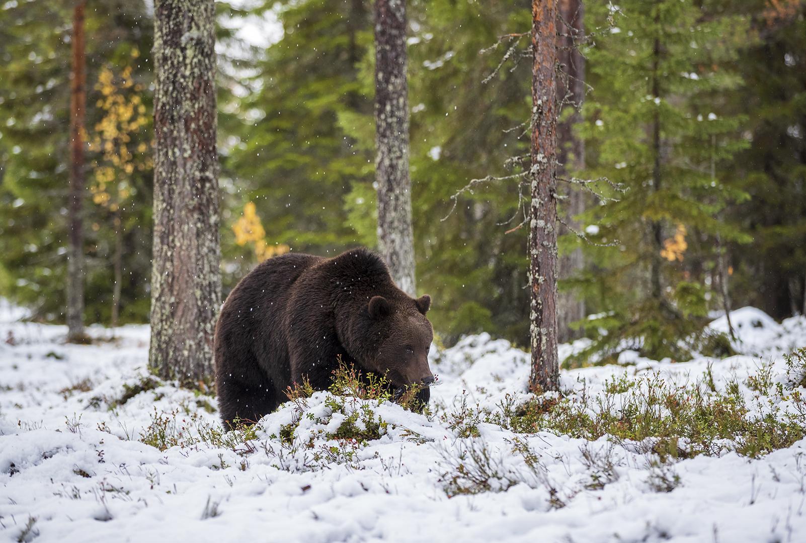 Wild brown bear-season, Ilkka Niskanen