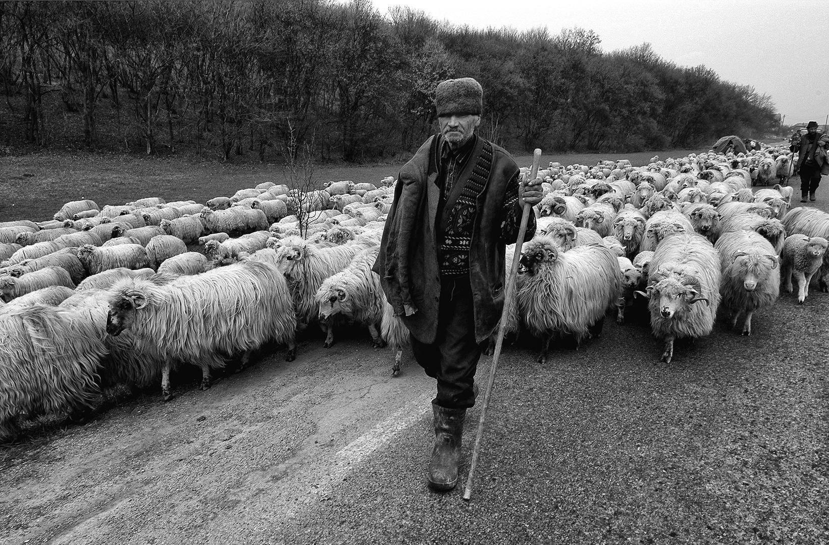 Shepherds move sheep, Søren Skov