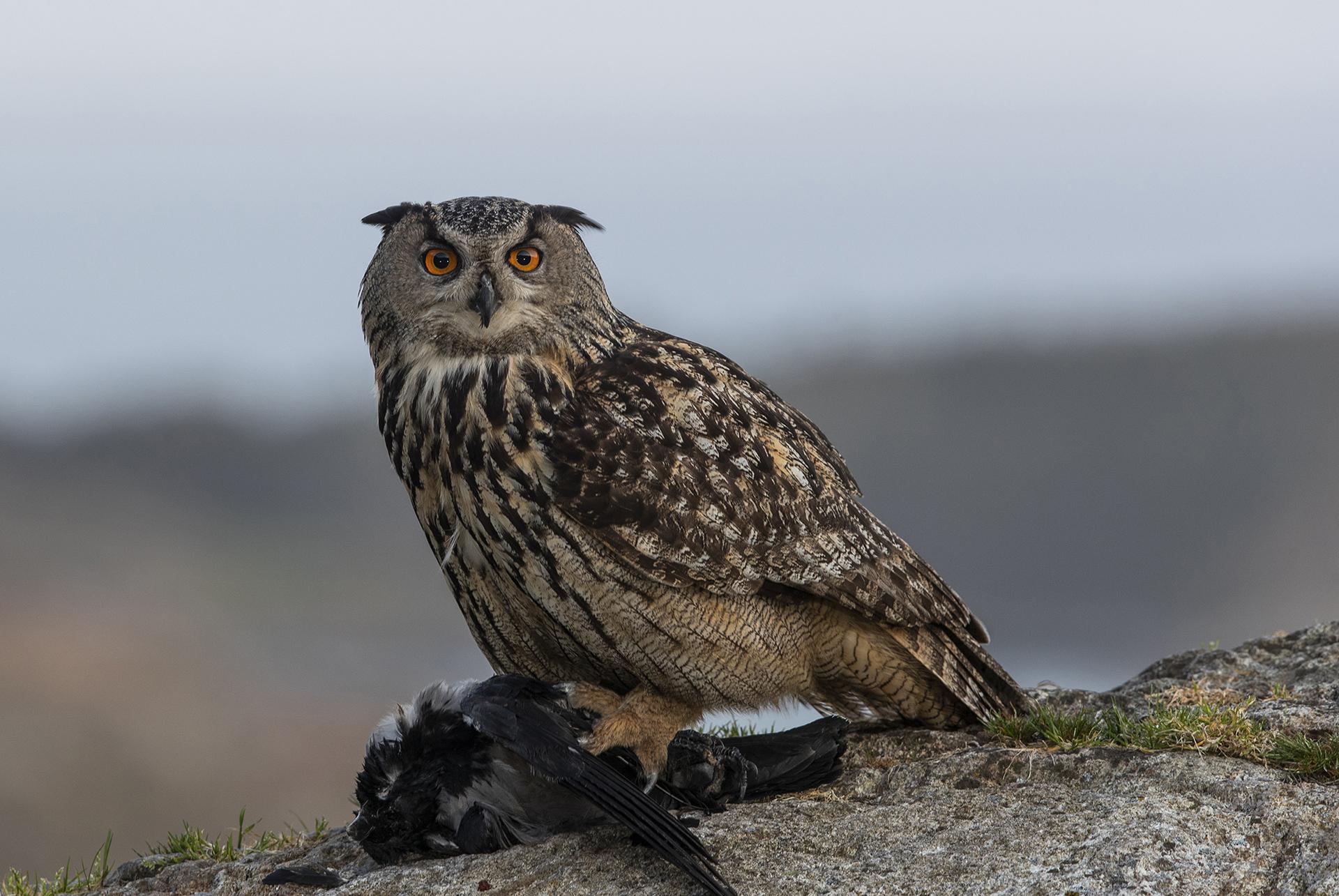 Eagle Owl, Bjørn Dykesteen