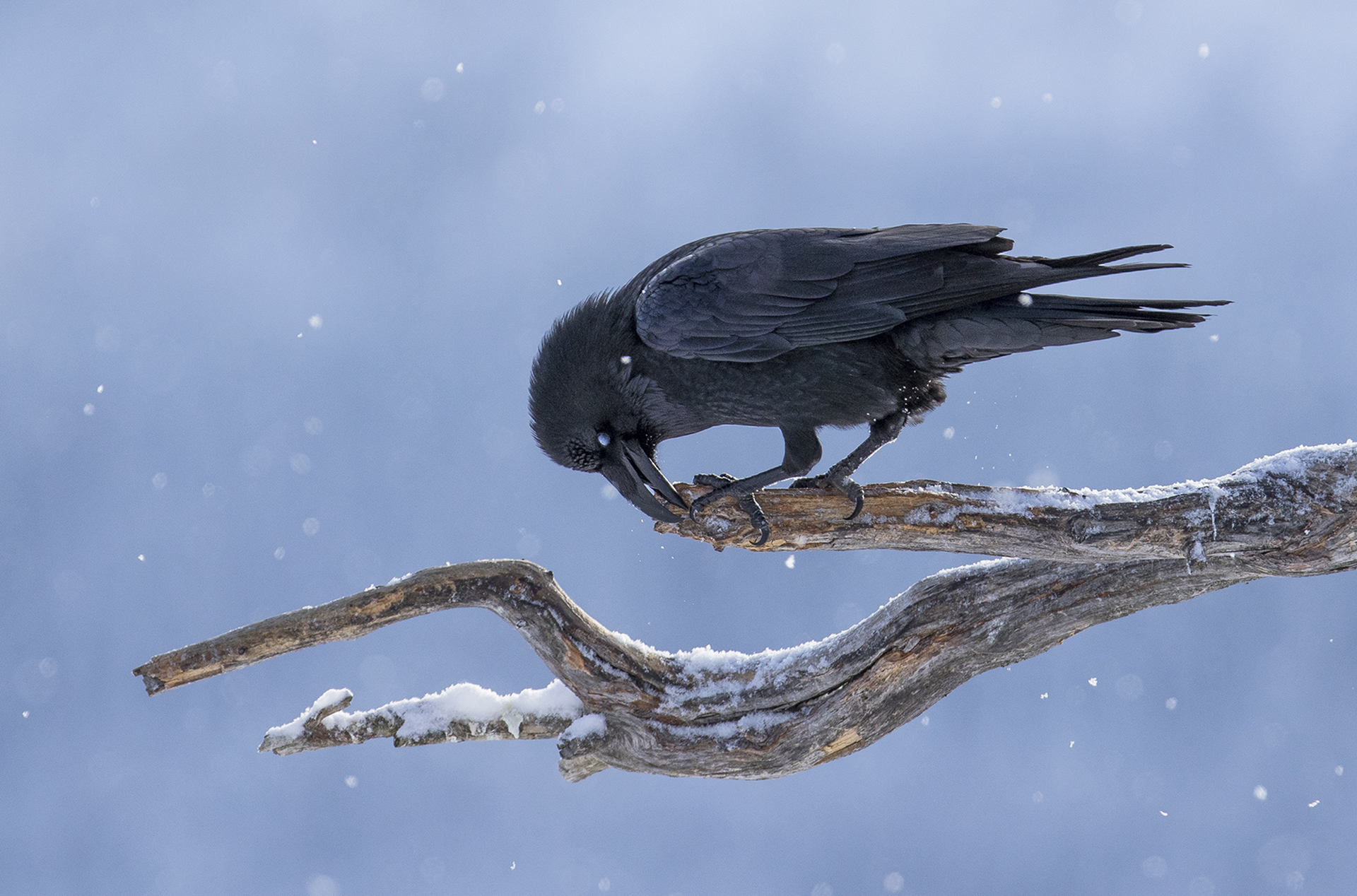 Raven cleaning the beak, Bjørn Dykesteen