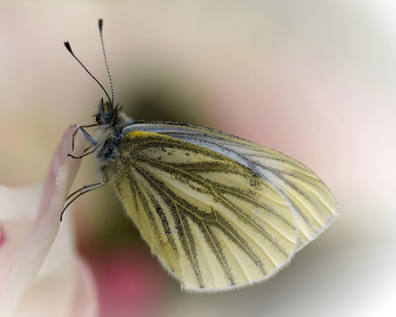 Winter Butterfly, Bente Nedrebø